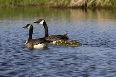 Canada goose with thier goslings on the river. Canada geese swimming with thier goslings on the river.Nature scene from Wisconsin stock images