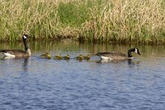 Canada goose with thier goslings on the river. Canada geese swimming with thier goslings on the river.Nature scene from Wisconsin royalty free stock photos