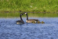 Canada goose with thier goslings on the river. Canada geese swimming with thier goslings on the river.Nature scene from Wisconsin stock photos