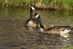 Canada goose with thier goslings on the river. Canada geese swimming with thier goslings on the river.Nature scene from Wisconsin royalty free stock photography
