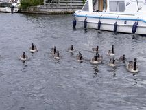 Canada geese swimming to camera with boat behind Stock Image