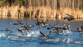 Canada Geese on Takeoff Royalty Free Stock Photography
