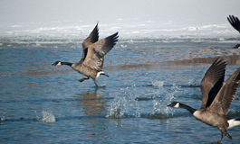 Canada Geese Taking Off Stock Photography