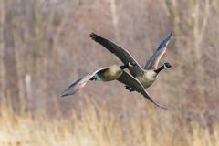 Canada Geese taking off a lake in the spring royalty free stock photos