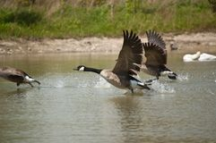 Canada Geese Taking Off from a Pond Stock Photography