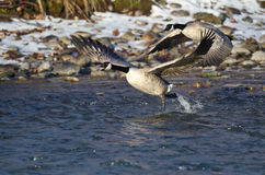 Canada Geese Taking Off From a Winter River Stock Image
