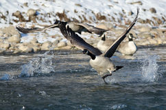 Canada Geese Taking Off From a Winter River Stock Photography