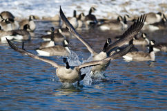 Canada Geese Taking Off From a Winter River Stock Images
