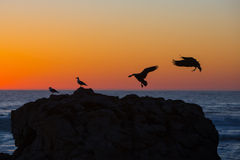 Canada Geese landing on rock Royalty Free Stock Photography