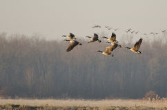 Canada Geese Taking to Flight Stock Image