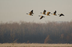 Canada Geese Taking to Flight Royalty Free Stock Images