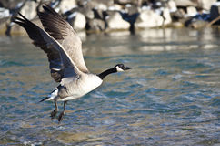 Canada Geese Taking to Flight from the River Royalty Free Stock Images