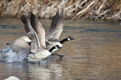 Canada Geese Taking to Flight from the River Royalty Free Stock Photos
