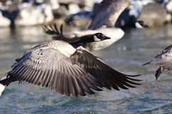 Canada Geese Taking to Flight from the River Stock Photo