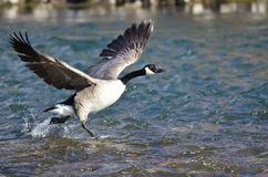 Canada Geese Taking to Flight from the River Stock Images