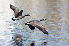 Canada Geese Taking to Flight Stock Photo
