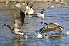 Canada Geese Taking to Flight Stock Images