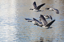 Canada Geese Taking to Flight Royalty Free Stock Photography