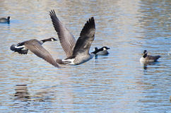 Canada Geese Taking to Flight Royalty Free Stock Image