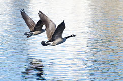 Canada Geese Taking to Flight from the Water Royalty Free Stock Photos