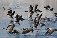 Canada Geese Taking to Flight from a Winter Lake Royalty Free Stock Photography
