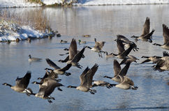 Canada Geese Taking to Flight from a Winter Lake Stock Photography