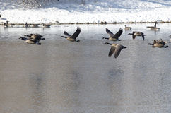 Canada Geese Taking to Flight from a Winter Lake Royalty Free Stock Images