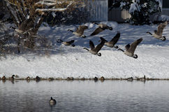 Canada Geese Taking to Flight from a Winter Lake Stock Photo