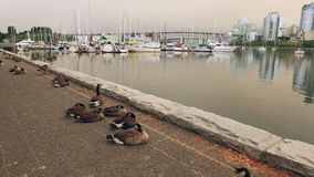 Canada Geese on Vancouver Seawall stock video