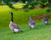 Canada Geese walking together on green grass in the afternoon sun t. Oward a wooded area in the summer Stock Photos
