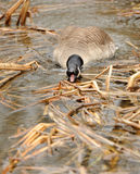 Canada geese in water Stock Images