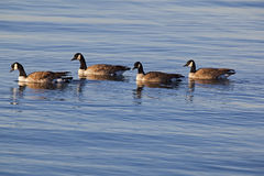 Canada Geese on water Stock Image