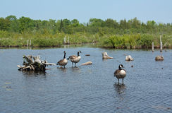 Canada Geese, Wetland. Wetland of George Langman Sanctuary, Orillia, Ontario, Canada stock image