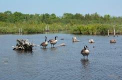 Canada Geese, Wetland Stock Image