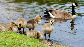 Canada geeses with goslings on riverbed Stock Photos