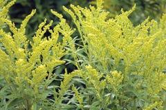 Canada goldenrod Stock Image