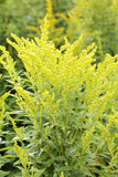 Canada Goldenrod. Royalty Free Stock Image