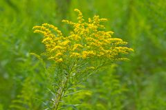 Canada Goldenrod - Solidago canadensis. A yellow Canada Goldenrod flower blooming in a green field. Todmorden Mills Park, Toronto, Ontario, Canada royalty free stock photos