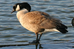Canada Goose 01. Canada goose in winter in a pond Royalty Free Stock Photos