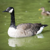 A Canada goose. Floating around Royalty Free Stock Photography