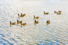 Canada goose Royalty Free Stock Image