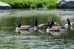 Free Canada Goose Stock Image - 13333851