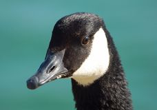 Canada Goose. Close-up headshot of a canada goose Stock Photos