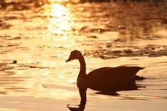 Free Canada Goose Stock Photos - 13595283