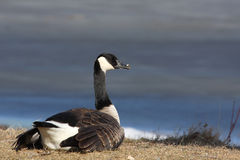 Canada goose. On the lake in early spring,A Canada goose is bathed in sunlight Royalty Free Stock Images