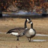 Canada goose. Canada geese in the park,taken in edmonton canada Stock Photos