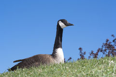Canada Goose. A Canada Goose sitting on a hill Royalty Free Stock Images
