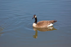 Canada Goose. A photo of a Canada Goose (Branta canadensis) swimming in a pond Stock Photo