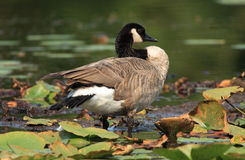 Canada Goose. At Jensen Lake - Lebanon Hills Regional Pakr Royalty Free Stock Photo