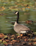 Canada Goose. At Jensen Lake - Lebanon Hills Regional Pakr Stock Photography